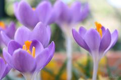 Spring effect! (ambrasimonetti) Tags: flowers flower primavera spring violet crocus february fiori viola printemps 2016 zafferano crochi