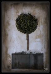Buxus (patrick.verstappen) Tags: winter tree texture garden photo google nikon flickr belgium pat january sigma textured facebook picassa twitter gingelom ipernity d7100 pinterest ipiccy