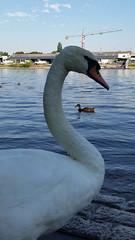 Swan, and Mallard (grinnin1110) Tags: river germany de deutschland europe wiesbaden hessen main schwan vogel hesse cygnusolor whiteswan mainufer höckerschwan maaraue