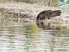 Turkey Vulture drinking 20160211 (Kenneth Cole Schneider) Tags: florida miramar westbrowardwca
