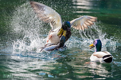 duck (Tintimax) Tags: nature duck nikon outdoor wildlife natur ente d4s
