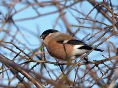 Bullfinch (Peanut1371) Tags: brown white black bird grey finch bullfinch gardenbird nationalgeographicwildlife