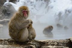 Hugs (pdxsafariguy) Tags: winter baby snow water pool animal rock japan monkey asia mother safety onsen care hotspring jigokudani macaque naganoprefecture snowmonkey embracing tomschwabel yamanouchi macacafuscata jigokudaniyaenkoen