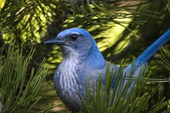 Western Scrub-Jay (Joseph Illingworth) Tags: blue bird nature utah spring bush vibrant wildlife brush telephoto scrubjay universityofutah redbuttegardens westernscrubjay