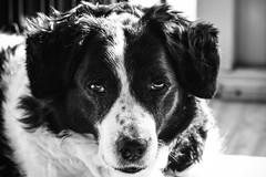 (72/366) Sypke, our 13 year old dog (99/365) (MJ Klaver) Tags: blackandwhite dog zwartwit photoaday m42 135mm olddog czj carlzeissjena project365 oldlens ausjena manualfocuslens project366 carlzeissjenasonnar135mmf35 sypke day72366 366the2016edition 3662016 12mar16