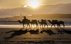 golden sunset (krøllx) Tags: ocean africa light sunset sea beach water landscape lights golden shadows sundown dromedary morocco camels essaouira marokko solnedgang goldenlight dromedar dsc03805201603071