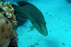 Napoleonvis - Huphead wrasse - Giant wrasse - Cheilinus undulatus (By Yves) Tags: red sea egypt diving hurghada