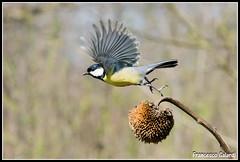 Fuga fuga!!!! (torben84) Tags: nature fauna fly nikon natura volo tamron avifauna parus maior decollo tamronlens cinciallegra fringuello atterraggio landig fringuelli 150600 d7200