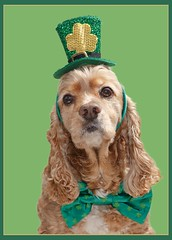 Happy St. Patrick's Day! (Denise Trocio (D Trocio Photography)) Tags: irish dog pet holiday green lucky cockerspaniel stpatricksday stpaddysday luckycharm americancockerspaniel domesticanimal dtrociophotography