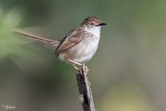 Graceful Prinia (Dave 5533) Tags: gracefulprinia nature wild dmslair eiap 8awards canoneos7dmarkii canon400mmf56 outdoor animal songbird