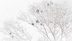 Birds (Celtic-Wanderer) Tags: winter white snow cold tree ice birds nikon waiting branch derbyshire perch snowing icy highpeak padfield d5000