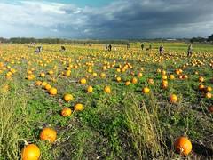 My local Pumpkin Patch. (pdean1) Tags: halloween field pumpkin patch veg