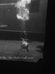 Mia (Clerss Malisha) Tags: family italy baby cute animal animals wonderful mammal underwater play view famiglia dolphin liguria north daughter mother genova dolphins vista mammals dauphin animali animale madre cucciolo delfino dauphins marinemammals cetaceo tierno delfini cetaceans cetacean figlio tursiopstruncatus figlia tenero sottacqua cucciola acquariodigenova cetacei ecolocation tursiope ecolocalizzazione nasobottiglia
