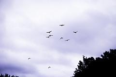 violet blur 2 (tommy kuo) Tags: sky bird monochrome birds clouds flying purple flight violet samsung australia melbourne rmit nx500