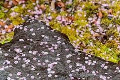 20160229-104421_5K_80 (pya) Tags: kyoto 京都 camellia plumblossoms jonangu 梅花 茶花 城南宮 椿花 weepingplumblossoms