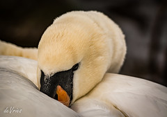 Sleeping Giant . . . (Dr. Farnsworth) Tags: birds mi spring ngc traversecity naturalbeauty fernridge specanimal momentsoflife nationalgeographicgroup loganslanding beyondtime theperfectphotographer absolutelytheperfectphotographer naturelive fantasticnaturegroup naturescarousel beautifulflickrcomposition tmigroup march2016