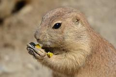 Blumen sind lecker (Dirk Ma) Tags: tiere murmeltier zoohannover