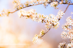 Spring flowers with white blossom (Gael F. Photography) Tags: flowers trees color tree green nature floral garden easter cherry petals spring branch blossom gardening may sunny bloom april flowering colored blossoming cherrytree springtime bough paques narural