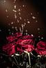 10/52 (rakel.gudmunds) Tags: copyright©rakel colours flowers nature flower rautt red vatn colorful blóm dropar dropi wet indoor water rauður rose