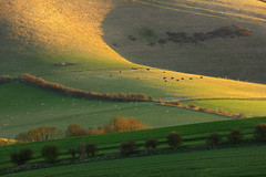 Kingston Ridge, South Downs National Park (Alan MacKenzie) Tags: sunset landscape sussex shadows cattle sheep hills fields southdowns
