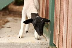 Rocket (Say! Little Hen) Tags: canon sheep farm lamb canoneos farmanimal smallfarm farmyard canon50mm canon50mm14 dorper canonphotography canonphotographer canonaustralia canon550d canoneos550d