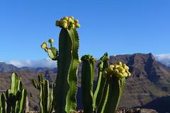 Gran Canaria (denismartin) Tags: españa mountains flower grancanaria spain canarias canaries canaryisland macaronesia denismartin degolladadelayegua