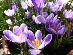 Purple Crocus (anemone54) Tags: plant green purple crocus lila bloom flowerpot grn blumentopf springflower stript frhlingsblume schwertliliengewchs gartenkrokus purplewhitestript