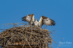 Osprey returns from Home Depot sequence - 23 of 27