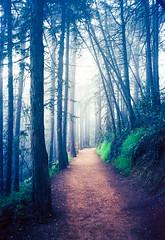 Redwood park (-Alberto_) Tags: nature fog 35mmfilm redwoods carlzeiss 100iso kodakektar yashicataf