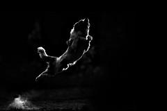POWER (Alicja Zmysowska) Tags: red blackandwhite dog white black dogs jump collie border frisbee