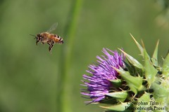 IMG_4228_Bee and thistle (sdttds) Tags: flower green purple bokeh thistle bee pictureoftheday honeybee frozenintime pollinator apismellifera stoppedtime 94of366 366in2016 april042016
