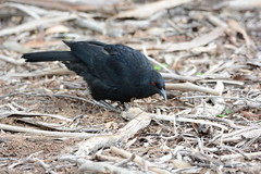 White-winged Chough (preecey54) Tags: chough
