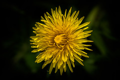 Light in the Dark (Myrialejean) Tags: light sun plant flower detail macro green yellow tooth dark circle spiral gold golden petals spring flora pattern open close bright outdoor teeth dream dent dandelion fibonacci round points bloom organic pollen burst delicate inspire packed taraxacum dentdelion herbaceous sepal bract sigma105mm organicpattern apomixis d7200