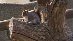 Grey squirrel (gondamilan) Tags: wood grey nikon squirrel d750 80400mm f4556