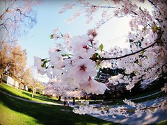 The City of Whirling Blossoms (rocketcandy) Tags: pink white canada flower nature vancouver cherry afternoon bc blossom britishcolumbia fisheye petal explore photowalk pacificnorthwest cherryblossom sakura cherryblossoms 365 weekends springtime jadore starred jetaime sakuras kinfolk photowalks project365 365days explored 365project chasinglight hellospring momentslikethese vsco vancouverisawesome belovedlife livefolk explorebc feelingspring ilovebc morningslikethese helloapril lifeofadventure igersvancouver vscocam uploaded:by=flickrmobile flickriosapp:filter=nofilter igvancouver kinfolklife myyvr bestofvsco flickriosapp:filter=original vscogood liveauthentic thatsdarling stayandwander loveauthentic aquietstyle livethelittlethings pursuepretty thehappynow darlingweekend flashesofdelight postitfortheaesthetic theartofslowliving darlingdaily thedulcetlife thingsadored theeverydaygirl