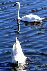 Swan up, Swan down (leaking_light) Tags: northbank manchestershipcanal irlam nikond3100