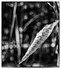 Cocoon Leaf and String of Pearls Bokeh (Astroredg) Tags: blackandwhite bw spiral leaf noiretblanc bokeh highcontrast nb curled twisted minimalistic minimalist cocoon spirale feuille contrastes tordu minimaliste cocon photographia courbé