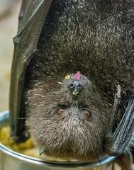 26577847561_64664cd8e1_k (craigchaddock) Tags: bat 300mm safaripark fruitbat iso12800 pteropusrodricensis rodriguesfruitbat sandiegozoosafaripark tongueouttuesday