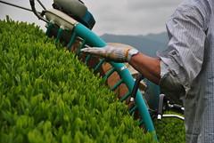 First Flush First Harvest, spring 2016 (Obubu Tea) Tags: spring greentea kansai tealeaves sencha  japanesetea teafield shincha  firstflush wazuka teaharvest obubutea