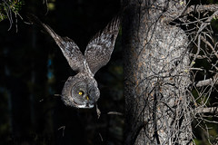 GG68 (Sam Parks Photography) Tags: trees wild summer usa bird fall nature animal forest rockies fly flying inflight wings woods nps wildlife unitedstatesofamerica ghost hunting feathers meadow aves raptor northamerica rockymountains hunter wyoming greatgrayowl soaring phantom predator carnivorous naturalworld jacksonhole avian soar hunt tetonrange parkservice strigiformes grandtetonnationalpark predatory strixnebulosa gye mountainous carnivora strigidae gtnp autummn greateryellowstoneecosystem horizontalorientation carniore