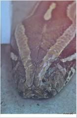 Snake (AmeliaPhotoAme) Tags: fish nature birds monkey woodpecker turtle snake flamingo lion deer ostrich safari zebra cameo giraffe chimpanzee vulture macaw lizzard lioncountrysafari