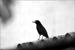 Blackbird (franciska_bosnjak) Tags: blackandwhite bird nikon outdoor blackbird d3100