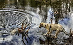 Rippled (Cindy's Here) Tags: dog ontario canada canon pearl ripples fritz beaverpond ansh scavenger1 billsoldamethystmine semiciircle