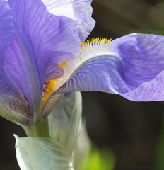 Lavender Iris. (Omygodtom) Tags: flower macro nature garden outdoors spring nikon bokeh lavender beardediris tamron90mm d7100
