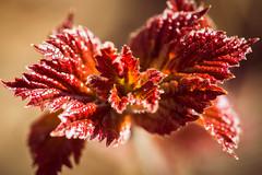 High bush cranberry {Explored} (spwasilla) Tags: leaves leaf cranberry highbushcranberry macrobokeh