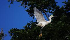 Landing (F.emme) Tags: birds snowyegret egrets