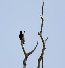 Sycamore Grove 4-17-16 (6) (tpbsr) Tags: birds owl april woodpeckers livermore lvcc sycamoregrove sycsmoregrove
