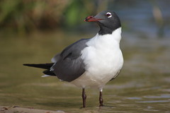 Laughing Gull Portrait (Natty Abrahams) Tags: portrait bird nature birds animal canon natural gull birding laughinggull