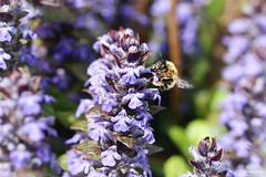 Anthophora plumipes (Mariie76) Tags: macro nature fleurs vol animaux abeille butinage insectes solitaire bugle ailes macrophotographie bleues anthophora plumipes