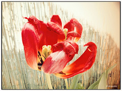 Wilted Tulip painting (Stephenie DeKouadio) Tags: light plant flower color colour art beautiful beauty canon painting photography spring colorful tulips blossom outdoor tulip